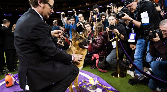 The 'Rumor' Is True, German Shepherd Wins Best In Show At West Minister
