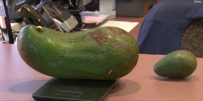 Hawaiian Farmer's Six-Pound Avocado Unofficially Beats World Record