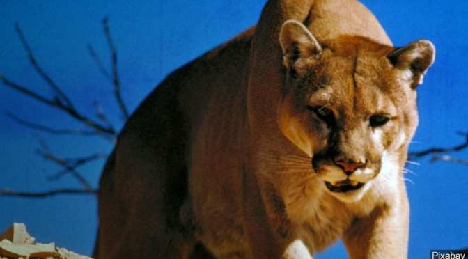 Colorado Man Kills Mountain Lion That Attacked Him