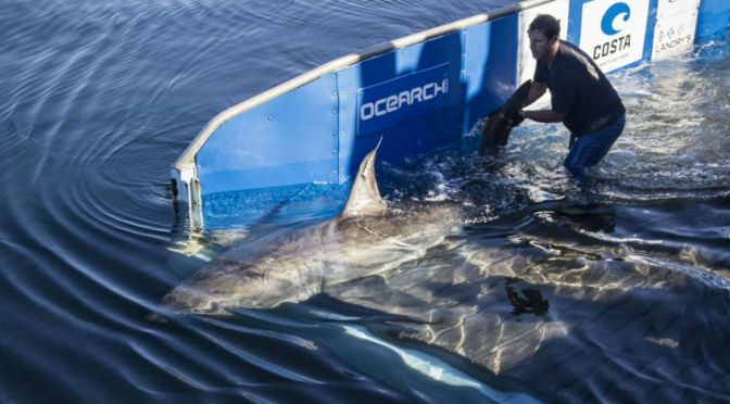 Scientists Tracking Large Shark In Gulf Of Mexico