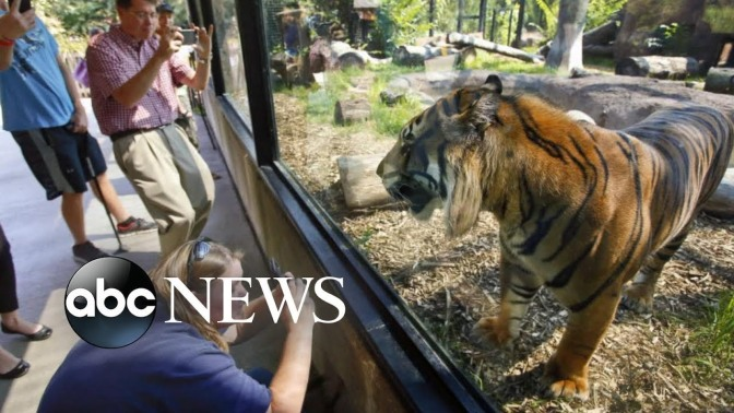 Zookeeper Attacked By Tiger Has Been Moved Out Of Intensive Care