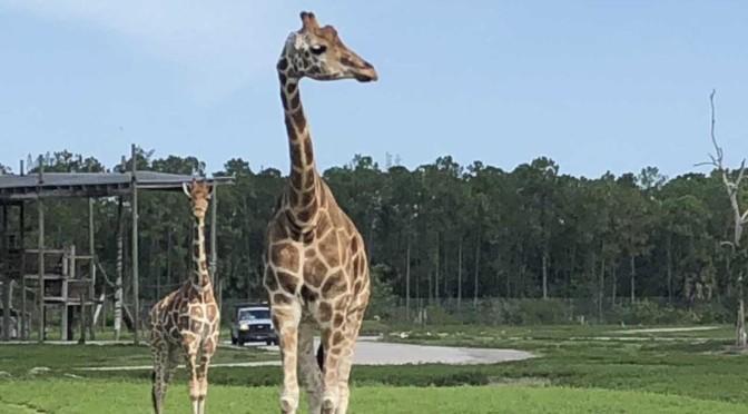 Two Giraffes Killed By Lightning